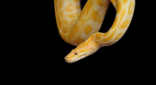o que significa sonhar com cobra amarela
