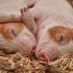 Sonhar com cabeça de porco