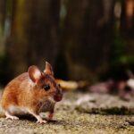 Sonhar com rato marrom